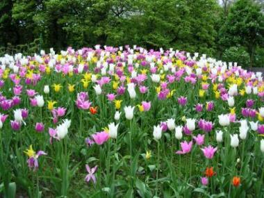 Tulipanene blomstrer i Brüssel